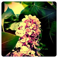 Lilac (Giulia_) Tags: france fleur plante violet lila feuille picardie noyon arbuste mai12