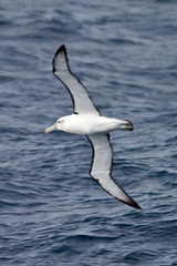 010011.2-IMG_1973 White-capped (Shy) Albatross (Thalassarche [cauta] steadi) (ajmatthehiddenhouse) Tags: bird 2012 steadi shyalbatross thalassarchecauta thalassarche cauta whitecappedalbatross thalassarchesteadi thalassarchecautasteadi wpo2012