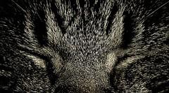 Porcupine Gizmo (Sas & Rikske) Tags: cat canon eos is kitten kat eric 7d l 70200 poes f28 bruyninckx catnipaddicts riksketervuren