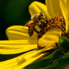 Honeybee Sunflower (dkphoto7) Tags: topf25 nikon sunflower honeybee 2549faves sigma150macro d7000