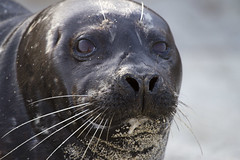 What are you looking at? (San Diego Shooter) Tags: sandiego lajolla seal seals lajollacove lajollaseals lajollacoveseals lajollaseal