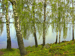 bjrkar vid Mlaren ~ birches by the shore (Per Ola Wiberg ~ Powi) Tags: beautiful sweden may harmony birches 2012 maj musictomyeyes mlaren drawingwithlight bjrk coth thegalaxy wonderfulphotos bjrkar natureplus naturesgallery colorphotoaward bforbeauty flickrbronzeaward citrit heartawards colourartawards flickrsheaven naturestyle magicaltouch royalawards colorsoftheheart beautifulshot naturesphotos naturegreenstar creativeimpulse visionaryartsgallery coth5 naturescarousel naturesribbon flickrsgottalent fleursetpaysages zodiacawards flyingcarpetclub mygearandme mygearandmepremium mygearandmebronze buildyourrainbowtransparent mygearandme2premium mygearandme3bronze thenaturalworld ~~cherishyourdreamsandvisions~~ terrestrialparadise hellofriend level1photographyforrecreation theelitephotographer mysoulmyheartmyart ~~fotosconmuchoarte~~~ nuskasgallery naturespoetry~~ flickrstruereflection1 thenewringofexcellence faszinationearthgroup rememberthatmomentlevel1 magicmomentsinyourlife thesunshinegroup clickapick felixfriendsfun