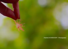 Dream Shot with Hijol flower ~~ (HamimCHOWDHURY  [Active 01 Feb 2016 ]) Tags: life pink blue red portrait white black green nature yellow canon eos colorful purple faces sony gray magenta violet surreal ash dhaka dslr vaio rgb bangladesh 60d hijol framebangladesh incrediblebengal gettyimagesbangladeshq2012 01611595036 hijolphool heejol