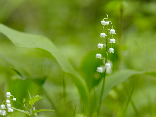 lily of the valley by Gnilenkov Aleksey, on Flickr