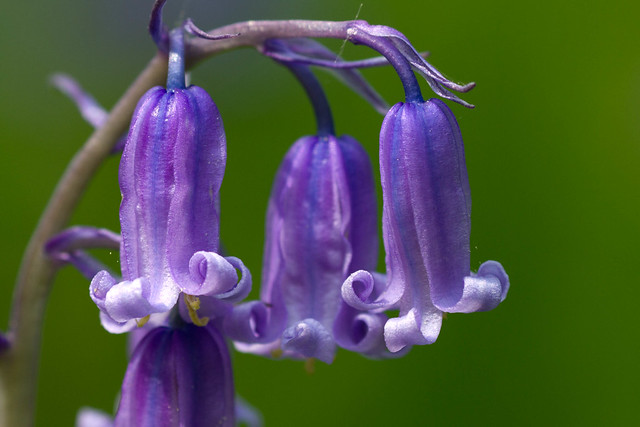 One of the last Oxfordshire Bluebells this year!