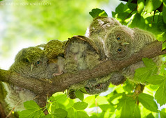 Five Little Owlets Sit'n in a Tree... 145/P366 (KvonK) Tags: wild bird spring woods babies five may screechowl owlets p366 kvonk