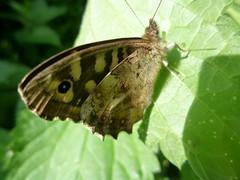 Speckled Wood butterfly - Pararge aegeria (John Steedman) Tags: uk greatbritain england butterfly unitedkingdom papillon mariposa essex danbury speckledwood grossbritannien parargeaegeria イギリス 英國 grandebretagne イングランド 英格兰 グレートブリテン島 schmetteling 大不列顛島 エセックス 埃塞克斯郡