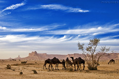 Camels Life (TARIQ-M) Tags: sky cloud tree sahara landscape desert dunes mount camel camels riyadh saudiarabia hdr    canoneos5d                 canonef1635mmf28liiusm canoneos5dmarkii     tuwaiqmountains
