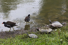 IMG_3314 (jaglazier) Tags: plants grass birds animals june gardens cities taiwan parks turtles taipei daanforestpark ponds urbanism reptiles 2012 daan coots 6112 copyright2012jamesaglazier