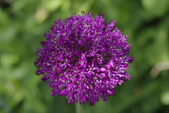 Allium hollandicum 'Purple sensation' (Susanne Hjert Wiik) Tags: allium ornamentalonion purplesensation alliumhollandicum kulelk