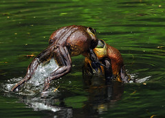 Bullfrogs Fighting 1 (RevondaG) Tags: pond amphibian fighting americanbullfrog matingbehavior defendingterritory