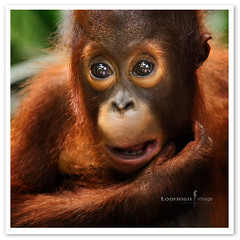 Singapore Zoo - Orang Utan (TOONMAN_blchin) Tags: orangutan singaporezoo toonman mygearandme mygearandmepremium mygearandmebronze ringexcellence dblringexcellence