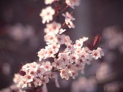 soft pinks (Natalie_Ward) Tags: pink flowers flower closeup 50mm photo spring bokeh naturallight olympus whippedcream missouri f18 lightroom preset 50mmlens e420 olympuscamera bellsisters lightroompreset olympuse420 natalieward thebellsisters
