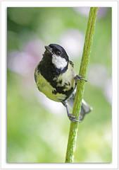 Parus major - Kohlmeise - Great Tit (steffi's) Tags: bird eye nature birds eyes tit wildlife uccelli vgel greattit parusmajor vogel oiseaux meise naturesfinest paridae meisen kohlmeisen