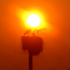 CIMG0831 sunset stork nest (pinktigger) Tags: sunset italy orange sun italia storks friuli fagagna cicogna feagne