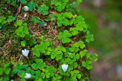 Feelin Lucky? (Zach Dischner) Tags: trip ireland vacation dublin plant macro green nature cool dof sharp 1750 clover clovers 7dtamron europe2012summercanoneos7dcanon