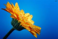 for you! (*Chris van Dolleweerd*) Tags: plant flower macro water closeup canon studio drops sigma gerbera 7d bloem druppels sigma105mm strobist canon7d chrisvandolleweerd