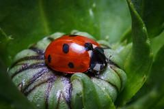Ladybird (Derik128) Tags: flower macro 100mm ladybird robertnewitt derik128 newi77allproduxions