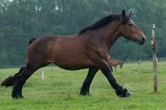 DSC_5814 (Ton van der Weerden) Tags: horses horse de cheval nederlands belges draft chevaux belgisch trait trekpaard trekpaarden eddyvanlangenhovebelgierietenhof