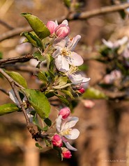 Spring Blossoms (kjerrellimages (Kevin W. Jerrell)) Tags: pink nature beauty spring blossoms blooms appleblossoms nikond60 kjerrellimages
