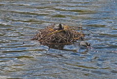 Home Building (Deepgreen2009) Tags: building male bird home water female nest pair coot addition