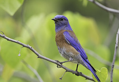 Western Bluebird (605_5075-1) (Best Practices) Tags: bluebird bestpractices westernbluebird