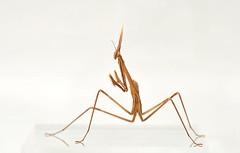 Hypsicorypha gracillis (Celimaniac) Tags: macro mantis insect prayingmantis mantide gottesanbeterin fangschrecke nikond3s hypsicoryphagracillis igm275