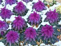 Purple Cabbage in Snow (Stanley Zimny (Thank You for 18 Million views)) Tags: winter snow plant purple cabbage