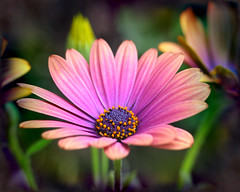 My Favorite African Daisy_Copper Amethyst 2 (ladyinpurple) Tags: africandaisy osteospermum photofiltre flamingpear pspxi cubetile copperamythist
