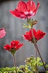 DSC_6477-Edit (Jawahar1) Tags: flowers spring backlit floraandfauna macrophotography flowermacro redanemone