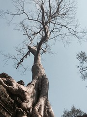 Tree (cattan2011) Tags: travel trees nature silver angkorwat shape