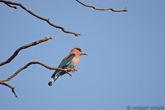 Indian Roller (Robbert met dubbel B) Tags: park india indian national roller april 2016 indische tadoba scharrelaar