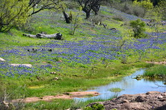 Bluebonnets and water (The Old Texan) Tags: water texas wildflowers bliebonnets