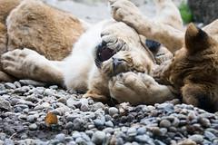 Let me watch your teeth. (Cloudtail the Snow Leopard) Tags: animal cat mammal zoo cub big kitten feline play leo lion young basel katze tier lwe panthera raubkatze sugetier groskatze