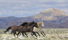 Born to Run II (chad.hanson) Tags: wildlife wyoming wildhorses mustangs greenmountainhma