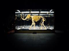 Gold Mammoth (Billy W Martins ) Tags: art beach glass animal night skeleton gold hotel nikon box miami mammoth extinct faena damienhirst mammuthus elephantidae d7100 midbeach faenaart faenamiami