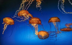 Orange Bell Jellyfish (Cole Chase Photography) Tags: aquarium jellyfish
