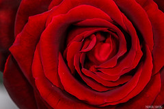 Una Rosa (Nando Verd) Tags: naturaleza detalle macro planta rojo amor flor centro rosa sigma alicante campo sangre elda roja rosal petrer pasion rosacea espina