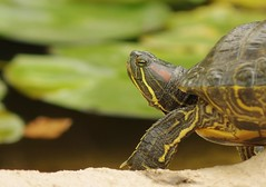 Red-eared Slide Turtle (Joe Son Nguyen) Tags: california pond woods turtle slide canyon sp di tamron f28 xr ld aliso redeared 2875mm
