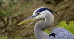 Grey Heron (Jeff_Joseph) Tags: heron nature birds nikon outdoor wildlife d800 lightroom beautifulcapture bolsachicaecological