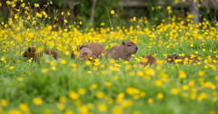Chester Zoo (Tim Furfie) Tags: nature animals photography zoo wildlife chester capybara