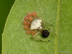 Spider with eggs (Ecuador Megadiverso) Tags: spider ecuador egg arachnida jardinecobotanicomindo