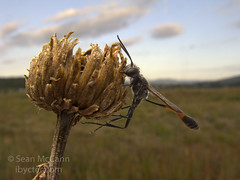 Ammophila (Sean McCann (ibycter.com)) Tags: sleeping wasp threadwaistedwasp ammophila sphecidae a720is