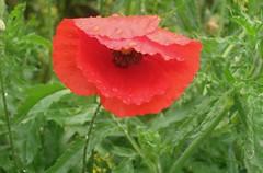 (Francesca249) Tags: red flower rugiada goccedirugiada
