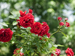 Roses with Helios (un2112) Tags: flowers red rose spring bokeh may springtime helios helios44m4 sülysáp panasonicg7