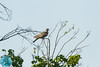 Common Wood-Pigeon (Columba palumbus)