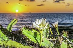 Cactus Flower at Dawn (rqserra) Tags: morning flowers brazil cactus flower sol praia brasil natal landscape dawn alba flor paisagem amanecer aurora dawning amanhecer aube alvorecer morgendämmerung dageraad daggry gryning rqserra