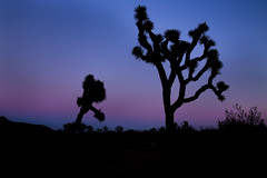 Joshua Tree Silhouette (Xiang&Jie) Tags: sunset tree silhouette landscape nationalpark twilight desert joshuatree simple joshuatreenationalpark