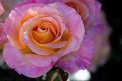 Staring rose...