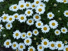Elmhurst, IL, Elmhurst College Campus, Daisies (Mary Warren (7.0+ Million Views)) Tags: flowers white nature yellow daisies flora blossoms blooms elmhurstcollege elmhurstil